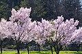 長井の桜 Cherry Blossom in Nagai - panoramio.jpg