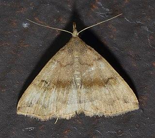 <i>Phalaenostola</i> Genus of moths