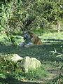 - ITALY - Tigre Siberiana - Parco Natura Viva - Verona 2.JPG