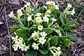 02014.3 Sanok, im März 2014 Primula elatior.jpg