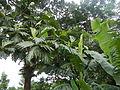 04224jfSanto Rosario La Purisima Artocarpus altilis Aliaga Nueva Ecijafvf 19.JPG
