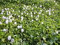 06339jfBarangay Eichhornia Flowers Pansinao Candaba Mount Arayat Pampanga Riverfvf 12.JPG