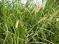 09986jfLandscapes Kans Grass Maronquillo San Rafael Bulacanfvf 12.JPG
