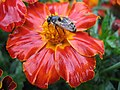 1318 - Zell am See - Bee on flower.JPG