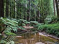 151011-028 Californian Redwoods near Beech Forest.jpg