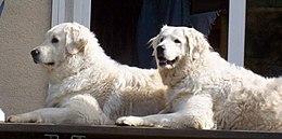 Kuvasz fajtájú kutyák
