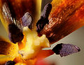 2011-12-25 22-23-08-etamines-tulipe-33f.jpg