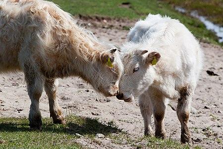 20110507-06(Engures ezera savvaļas govis).jpg