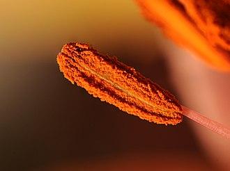 Lilium - stamen of lilium