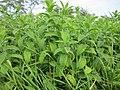 20120921Mentha longifolia3.jpg