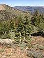 2013-06-27 13 37 06 Juvenile White Fir on the north slope of Spruce Mountain, Nevada.jpg