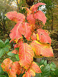 2014-10-29 13 43 39 Poison Ivy foliage during autumn leaf coloration in Ewing, New Jersey.JPG