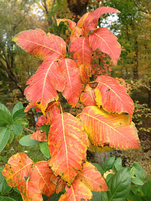 Toxicodendron radicans - Poison ivy during autumn