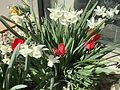 2015-03-31 10 22 16 Red tulips and white daffodils along Idaho Street (Interstate 80 Business) in Elko, Nevada.JPG