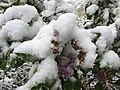2015-05-07 07 17 16 New green leaves and flowers covered by a late spring wet snowfall on a Lilac on South 9th Street in Elko, Nevada.jpg