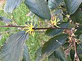 2016-10-17 17 11 49 American witch-hazel blossoms along Tranquility Court in the Franklin Farm section of Oak Hill, Fairfax County, Virginia.jpg