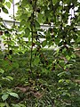 2017-05-30 15 24 23 Red Mulberry branches with leaves and fruit at the intersection of Lees Corner Road (Virginia State Secondary Route 645) and Old Dairy Road in the Franklin Farm section of Oak Hill, Fairfax County, Virginia.jpg