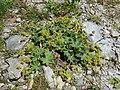 2017-07-16 (061) Alchemilla monticola (mountain meadow lady's mantle) at Matrei in Osttirol, Austria.jpg