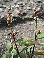 20170730Persicaria lapathifolia3.jpg