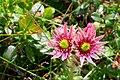 20180616 Kwiaty rojnika górskiego na szczycie Babiej Góry 1021 3839 DxO.jpg