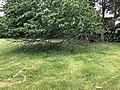 2019-05-23 14 44 45 A Cherry tree broken during a storm, with all the lower leaves having been eaten by deer, along a walking path in the Franklin Glen section of Chantilly, Fairfax County, Virginia.jpg