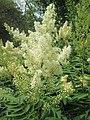 20190618Sorbaria sorbifolia1.jpg