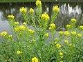 20200501Barbarea vulgaris3.jpg