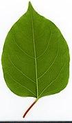2020 year. Herbarium. Reynoutria japonica. img-008.jpg