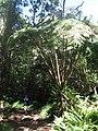 30 foot fern, in fern forest - panoramio.jpg