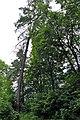 46-101-5034 Lviv Mushaka 54 Tsuga Canadensis RB 18.jpg