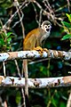 4 day trip to La Selva Lodge on the Napo River in the Amazon jungle of E. Ecuador - squirrel Monkeys (Saimiri sciureus) - (26865563945).jpg