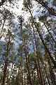 71-249-5012 Dubiivka Pines SAM 7682.jpg
