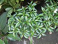 9639Ornamental plants in the Philippines 10.jpg