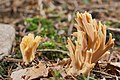 AD2009Sep13 Ramaria sp. 01.jpg