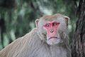 A Monkey in Jim Corbett Park, Uttarakhand, India.jpg
