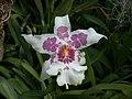 A and B Larsen orchids - Beallara Tahoma Glacier Green DSCN5314.JPG