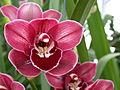 A and B Larsen orchids - Cymbidium Rolf Bolin Red Velvet DSCN4704.JPG