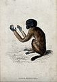 A ape of the genus pithecia melancocephalia sitting on the g Wellcome V0020760EL.jpg