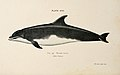 A book of whales (Plate XVII) (6002557894).jpg