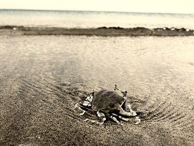 A crab on Dhanushkodi Beach.jpg