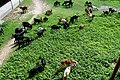 A flock of goats at Tiger Pass (1).jpg
