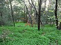 A forest near Haifa.JPG