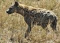 A hyena is seen at Serengeti National Park in Tanzania Nov. 14, 2013 131114-N-LE393-074.jpg