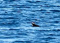 A lonely Puffin, perhaps it was the first. - geograph.org.uk - 767584.jpg