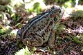 A walk in the woods near Onion Lake XC ski area, S of Terrace, BC - anyone know their frogs? - (21532582206).jpg
