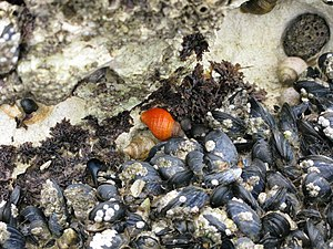 English: A whelk that likes to stand out in a ...
