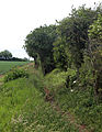 Abbess Beauchamp and Berners Roding, Essex England -hedge trees and crop field.JPG