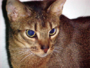 Abyssinian cat.png