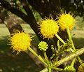 Acacia karroo, blomhofies, Jimmy Aves Park, f.jpg