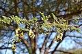 Acacia tortilis00.jpg
